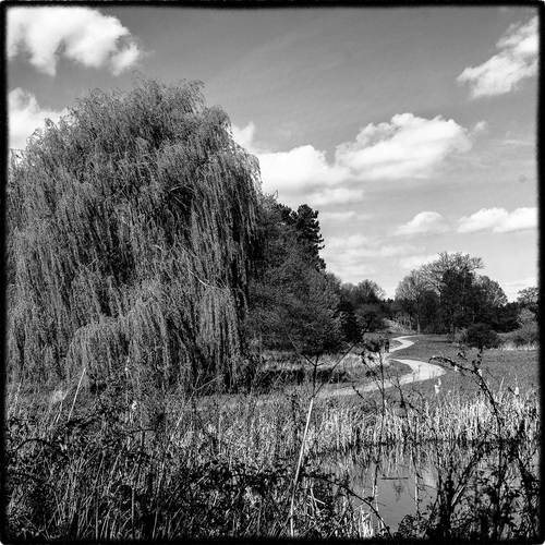 photo of a willow