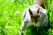 Mini_140429-181228-grey_squirrel