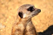 Mini_140429-190313-meerkat