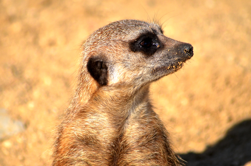 a meerkat on lookout for his group
