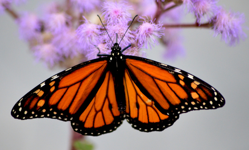 A bright orange butterfly stood on a cluster of flowers