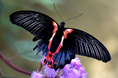 A red and black butterfly stood on a purple flower