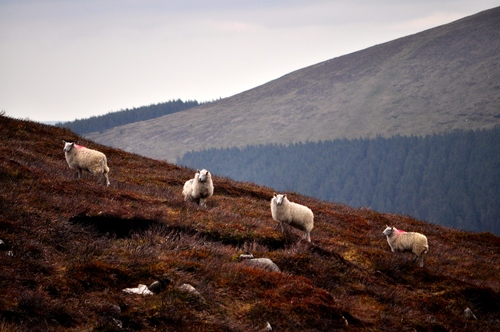 Some sheep watching us warily during our descent from the lug.