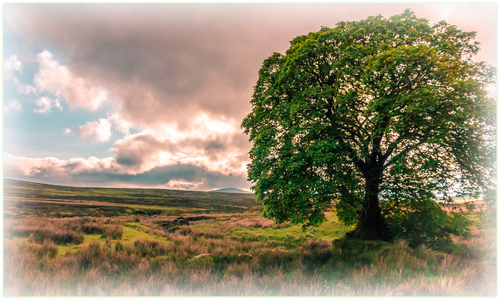 Wicklow Tree