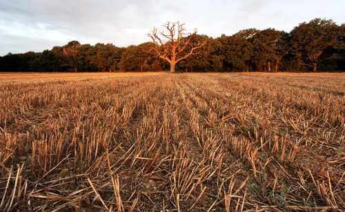 Tree in a cut wheat field at sunrise