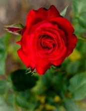 Mini_140626-132008-bush_rose__red_