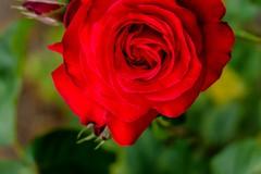 Bush red rose