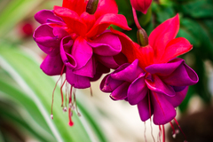 Hanging Bi Color Fuchsia Red Purple