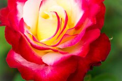 Red Flame Sunshine Rose