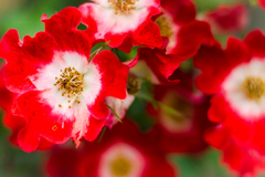 Rosa hybrid 'Gizmo'