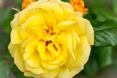 Rosa hybrid 'Strike It Rich