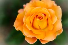 Rosa hybrid tea 'Brandy