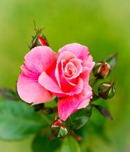 Mini_140626-132726-zephirine_drouhin__rose