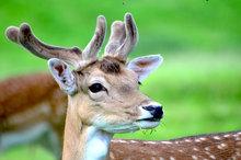Mini_140628-225046-fallow-deer