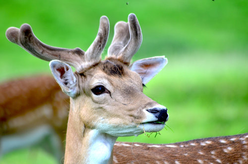 One of many fallow deer that roam around Dyrham park