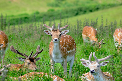 a group of fallow deer in dyrham park