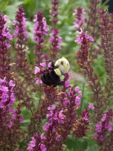 Bumble Bee flying from flower to flower
