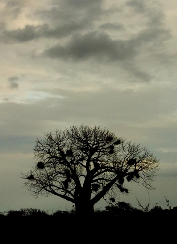 Baobab tree in Meru National Park