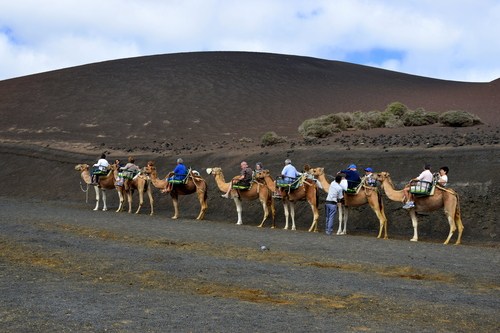 A camel train in the National Park, Lanzarote. The camels bring tourists up close to the volcano craters.