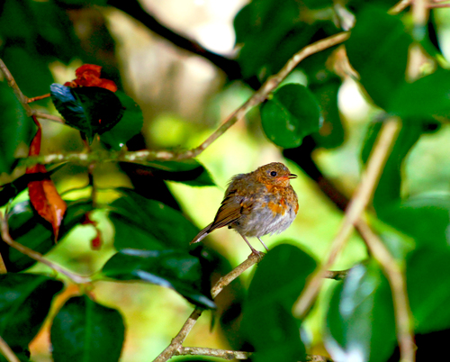 Robin sitting pretty under the trees.