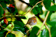 """Robin sitting pretty under the trees.   Know anyone who may be interested in a beautiful photographic print ? Please share this link with them. Thanks !"""""""