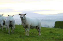Early Morning sheep grazing, Dromore Co Down, Northern Ireland