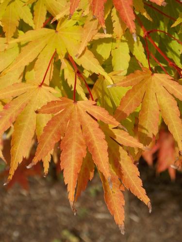 Autumn foliage, Harborside Fountain Park