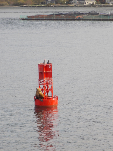 Seal basking in the morning sun on a buoy near Bainbridge Island.