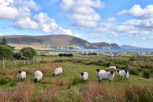 Achill sheep with the Minaun Cliffs in the background