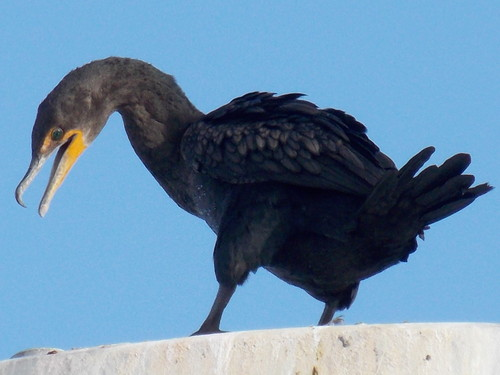 Close up of a Cormorant at the Ballard Locks in Seattle.