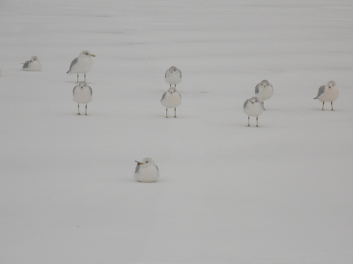 Gulls of Lake Superior brave the wind & snow.