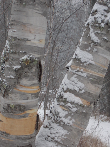 Birch Trees in Gooseberry Falls State Park. The combination of stripped bark, snow and natural light produce a surprising beauty for the eye.