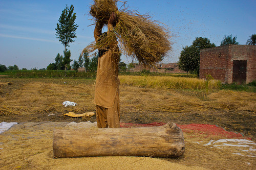 The photograph is taken at the time of rice season in Punjab (Pakistan), people get up early in the morning and start their work in the rice fields by manual and traditional way of separating the rice grains.