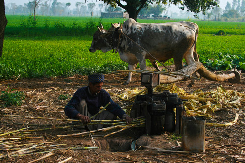 Oxen are running the machine in the fields and operator inserting the sugarcane in the machine for taking juice.