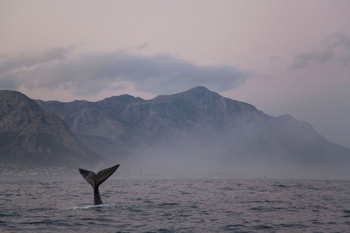 Southern Right Whale, Hermanus, The Western Cape, South Africa.