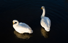 Two swans and their reflections