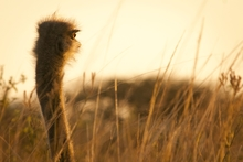 Mini_150917-132656-tala_game_reserve_-_ostrich_sunrise_portrait_16bit