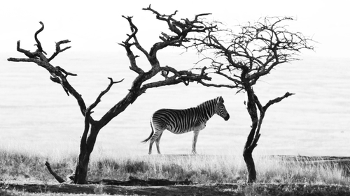 Zebra framed by Trees in Tala Private Game Reserve