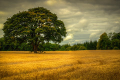 Taken in Loughrea Co. Galway, Autumn gold.