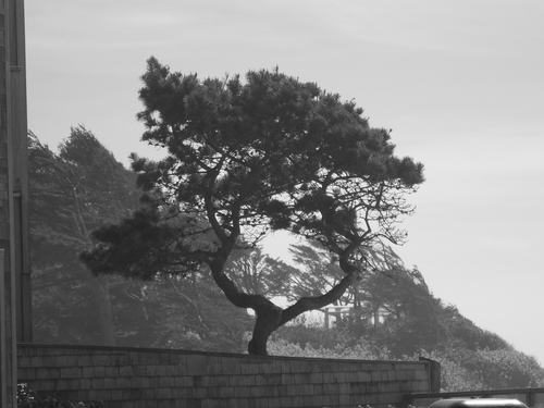 A pine tree grows with the coastal wind.