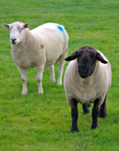 Mini_161123-023020-sheeps_1