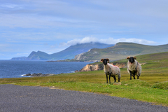 Local sheep on the road along the Atlantic Drive near Ashleam on Achill Island, Co. Mayo