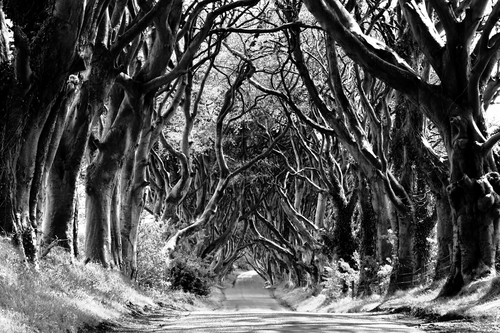 A unique stretch of the Bregagh Road near Armoy, County Antrim that has been re-named locally as The Dark Hedges. As you can see, over the past 300 years or so the Beech trees guarding the lane have reached up and across to each other, becoming heavily intertwined to create a remarkable sight .