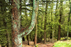 Lichen colours the Sitka Spruce of the Dublin Mountains a bright green.