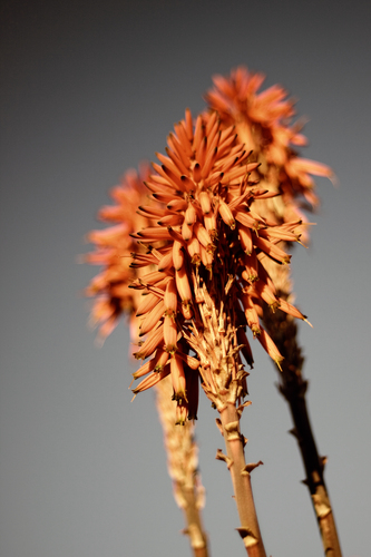 Orange aloe vera flowers against a blue sky - desaturated