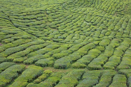The Boh Tea Plantations stretched across a hillside in the Cameron Highlands.