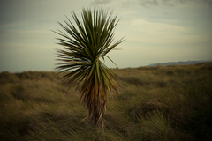 A solitarty yucca tree on Bull island,  