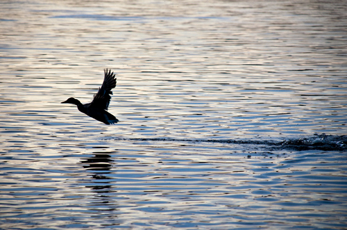Duck in flight just above the water. Shot in Lough Key Forest Park, Boyle