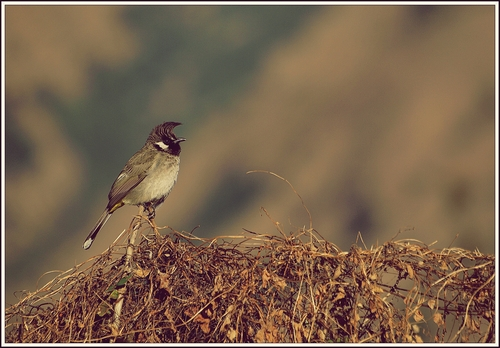 Shot this photo of this beautiful, yet fairly common Himalayan bird in village Korwa near Chakrata in the western Uttaranchal Himalayas.